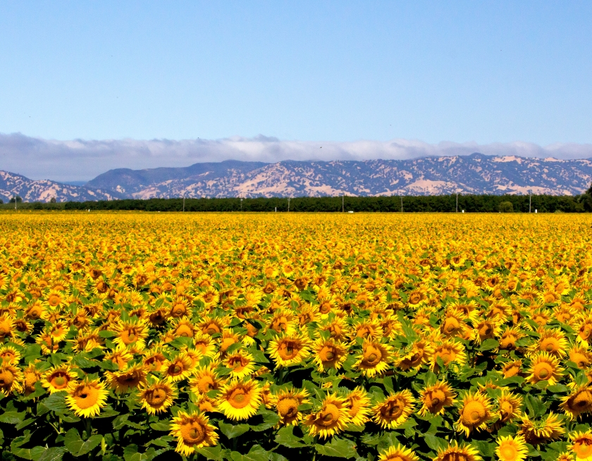 sunflowers-field_MJQz58KO